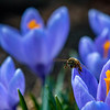 A bee collects pollen from some early blooming crocus' on College Street in Lewiston Saturday morning.