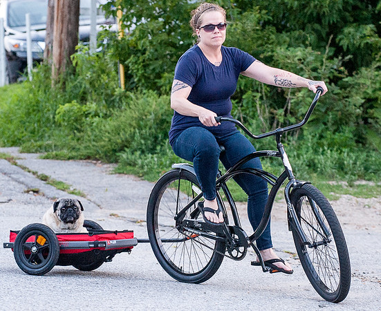"Jenn Sirois, of Auburn, gives her 10 year old pug mix dog Buddah a ride down Parker Street in Auburn Monday night.  ""I don't have a pickup for him to ride in the back and he is kinda old to be out walking in this heat so this is his way of getting out and about.""  said Sirois.  (Russ Dillingham/Sun Journal)"