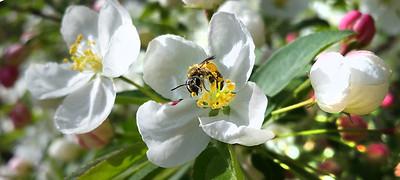 Crabby bee