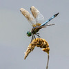 A dragonfly hangs out on the edge of a retention pond in Greene Wednesday afternoon.