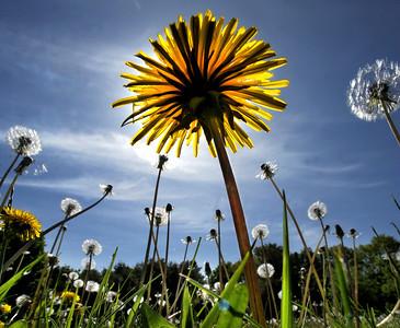 Dandelions forever