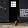 A rooster stands his ground at Blazing Star Stables in Monmouth Wednesday afternoon.