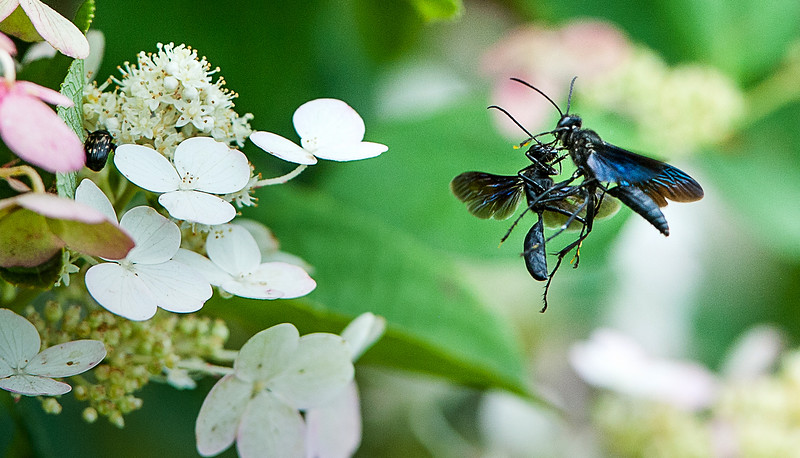 A pair of wasps battle in the air next to hydrangeas surrounding the band stand behind the Marion T. Morse school in Lisbon Wednesday afternoon.  (Russ Dillingham/Sun Journal)