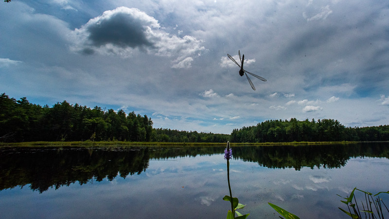 A dragonfly cruises around Lily Pond in New Gloucester Friday morning, July 24, 2020.