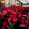 Mike Small has been growing poinsettias for almost 40 years, learning the trade from his father and grew the business until recently downsizing and selling Roak The Florist on Main Street in Lewiston.  He took over one of the Whiting greenhouses and grows on a smaller scale now at 726 Summer Street in Auburn, Small's Plant Care.  He looks over his flowers on November 22, 2020 where he has watched this years crop of Christmas Day poinsettias grow since the beginning of July.  Most of these are going to the Lewiston High School swim team.