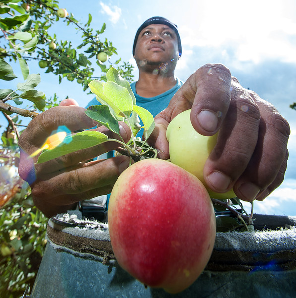 Norman Samuels picks Ginger Gold apples on Perkins Ridge Road in Auburn Tuesday morning for Ricker Hill Orchards.  He and 10 other first year workers were learning the ropes from Sam Ricker and 50 other seasoned apple pickers on one of several of the farms' properties in the area.   (Russ Dillingham/Sun Journal)