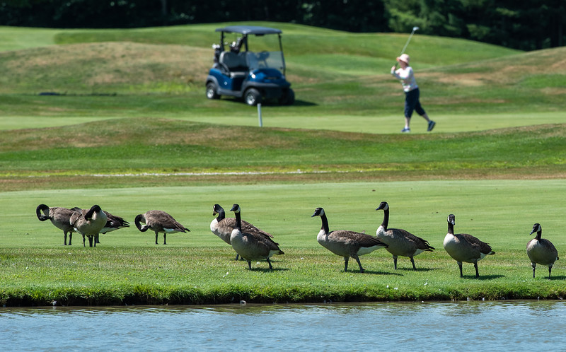 Canada geese hang out on the edge of one of the ponds at Spring Meadows Golf Club in Gray Wednesday morning as golfers play through.