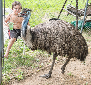 "Treyson Greene, 3 of Lisbon, who lives just down the road from Rockin'T Equine Sanctuary and Rescue watches ""The Bird"", an Emu, pace back and forth in his enclosure at the Lisbon facility Friday afternoon after the escaped Emu was captured down the road and returned. (Russ Dillingham/Sun Journal)"