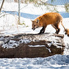 A scruffy looking fox feeds on bird seed left on a rock at Auburn Suburban Baseball & Softball Field Complex in Auburn Wednesday afternoon.