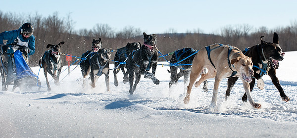 Jocelyn Bradbury of Oxford, Maine leans into her sled as her team pulls her over the final stretch of a frozen cornfield in Farmington, Maine and victory in Sunday's Maine State Sled Dog 8-team Race February 17, 2019.