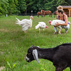 One of Leah Moreau's pet turkey's ruffles his feathers as she picks up another while feeding and taking care of her animals at her home where she breeds French Bulldogs at her home based business, Low Fat Bullies.  She is a self proclaimed animal lover of all kinds and has many roaming around the property and in a backyard pond where she and her husband live in Turner.