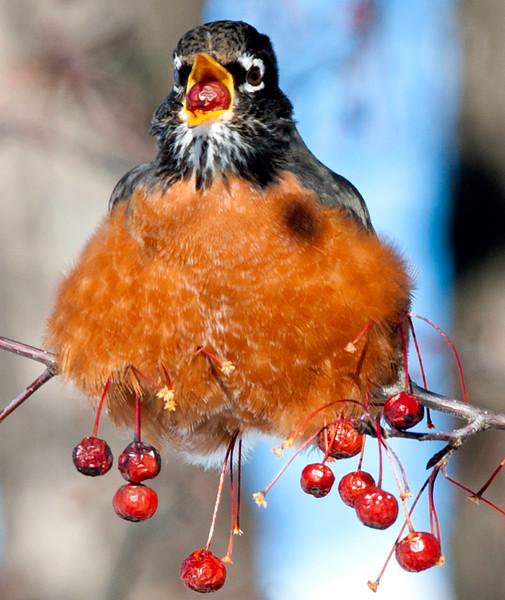 Berry cold birds