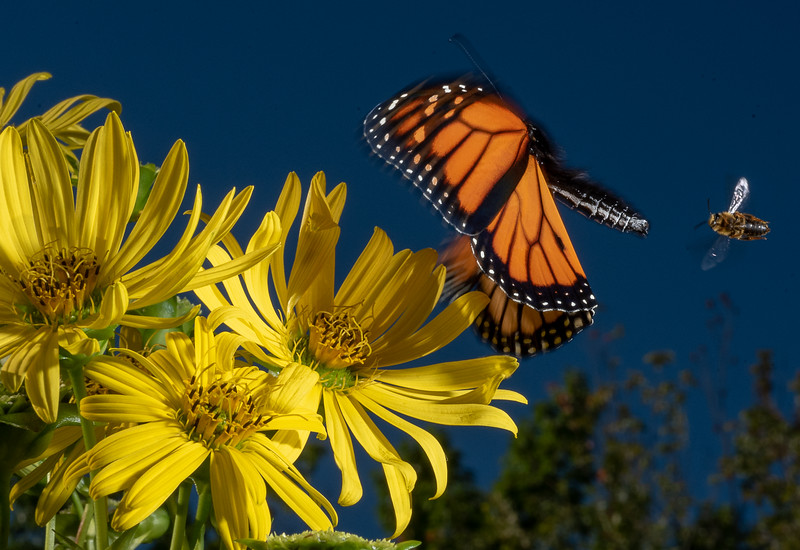 A monarch butterfly collects pollen from a flower in a garden on Mill Street in Auburn Thursday afternoon.