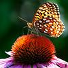 CITbutterbeeflowerfawn02SAP072616