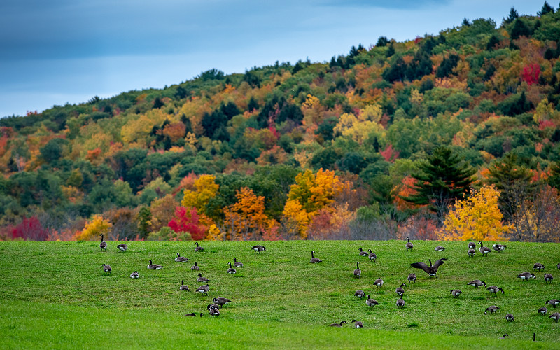 Hundreds of Canadian geese rest and feed in a field off Route 9 in Sabattus  Friday afternoon October 11, 2019 as they migrate North.