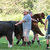 A boy carries a calf to his van to be driven back to their farm Monday morning after escaping from it's pen.  The others broke down the fence in persuit and were finally coralled on the 4th hole at Roys Allsteak Hamburgers and Golf Center on Route 4.
