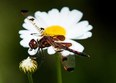 CITdragonflySAP062317