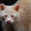 An albino raccoon gets used to it's new habitat at the Maine Wildlife Park.