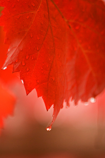 Red autumn leaves dripping with welcome rain at the Cafe Sofala.