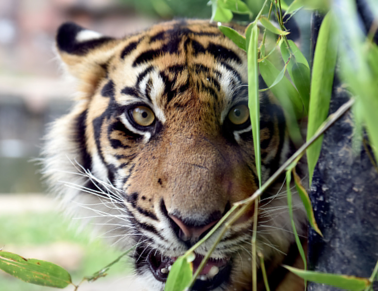 Eko is one of the Sumatran Tigers at the Jackson Zoo.