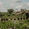 La maldición de la palma africana