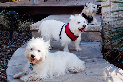 Louise notes that thanks to the sweet terriers he lives with Toby is beginning to engage in dog-like behavior  with his new pack, a 12 year old Westie named Mr. Knickers, and Joy, a 12 year old Cairn Terrier.
