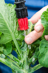 Lyn Wenzel uses a garden hose to wash away Aphidoidea bugs with water.