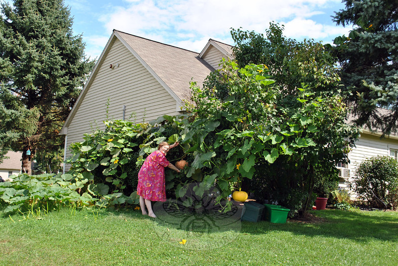 Terry Pellicci shows off the pumpkins growing behind her home. The plants sprouted from seeds of pumpkins that were part of Ms Pellicci's 2012 Halloween display. Spreading nearly 20 feet out onto her lawn and scaling a cork bush and a lilac bush, the vines eventually twine up into the branches of a pine tree. Pumpkins hanging from the vine weigh several pounds. (Crevier photo)