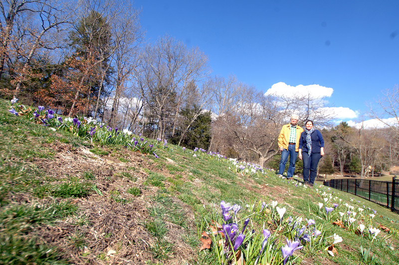 Harvey Pessin and Brid Craddock helped coordinate a large group of volunteers who planted 10,000 bulbs in December 2012, which will flower throughout the season. Early April saw the first wash of color this year as crocuses covered the hillside. (Bobowick photo)