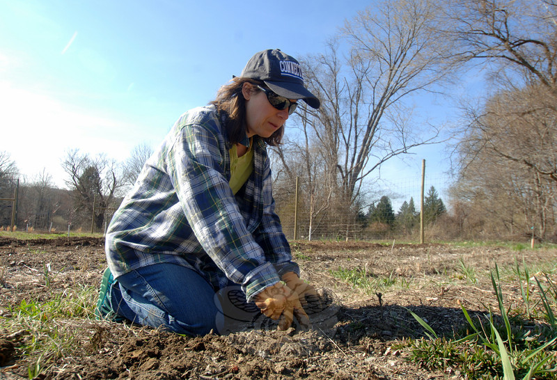 Gardening volunteer Barbara Toomey set about her first day of work on her team's row at the Victory Garden, a community garden in Fairfield Hills on Monday, April 21. Row 41, where she uses a trowel, is shared by Transition Newtown and the Parks and Recreation Department. (Bobowick photo)