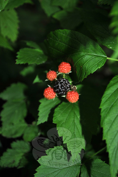 One ripe blackberry is centered among a cluster of still-to-ripen berries. Delicious and nutritious, wild blackberries are peaking in this region now.  (Crevier photo)
