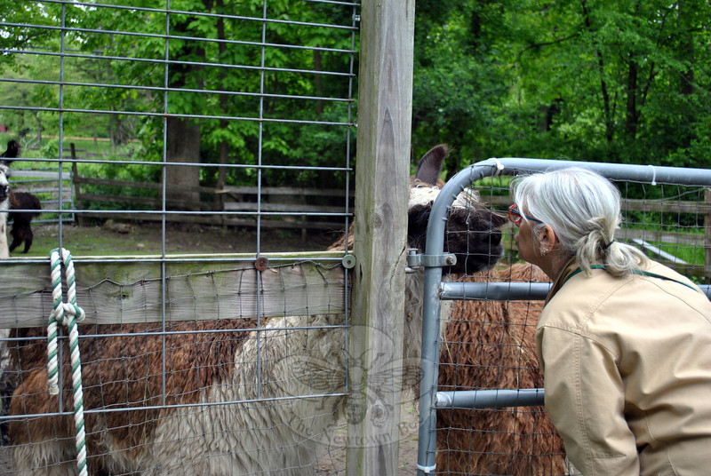 """Rowanwood Farm """"right arm"""" Leslie Alexander gives her llama, Maple, a smooch. Ms Alexander assists with educational llama programs, hikes, and boards her own two llamas at Rowanwood. (Crevier photo)"""