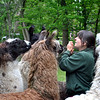"A clap of the hands and a call of ""Here llamas, llamas, llamas!"" by Rowanwood Farm owner A.J. Collier brings llamas running to her. (Crevier photo)"