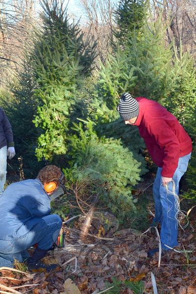 Parent volunteers and members of the Newtown Rotary Club teamed up with intermediate and middle school student members of the Interact Clubs to cut and package more than 100 holiday trees donated from the property of teacher Jason Adams, pictured cutting a tree with Rotarian Mike Toll. Sales of the trees to help support local charities begin December 7.   (Voket photo)