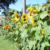 Sunflowers of varying height and color crowd the roadside in a large patch along Riverside Road. Resident Brian Haag planted his first seeds two years ago, and grew them again this year. Many of the plants still carry buds that he hopes will bloom throughout September. (Bobowick photo)