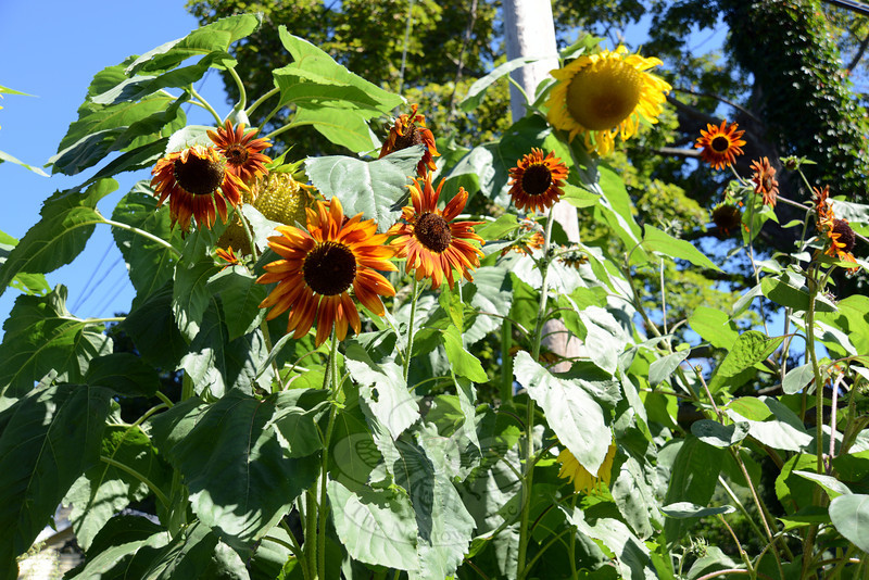 Sunflowers stretch to a variety of heights along Riverside Road. (Bobowick photo)