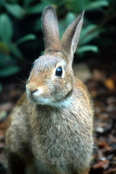 The Newtown Bee's Field Notes feature in the August 21, 2015 print edition of the paper focused on rabbits, like this Eastern cottontail. (Clark photo)