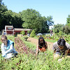Kate Cray, left, Symba Nuruddin, center, and Austin Wang separate the beets from the weeds Wednesday, clearing the overgrown grass away from the vegetable plants. (Bobowick photo)