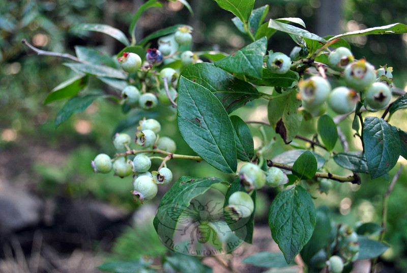 Blueberries are already thick on the branches of the Berkeley blueberry tree. (Crevier photo)