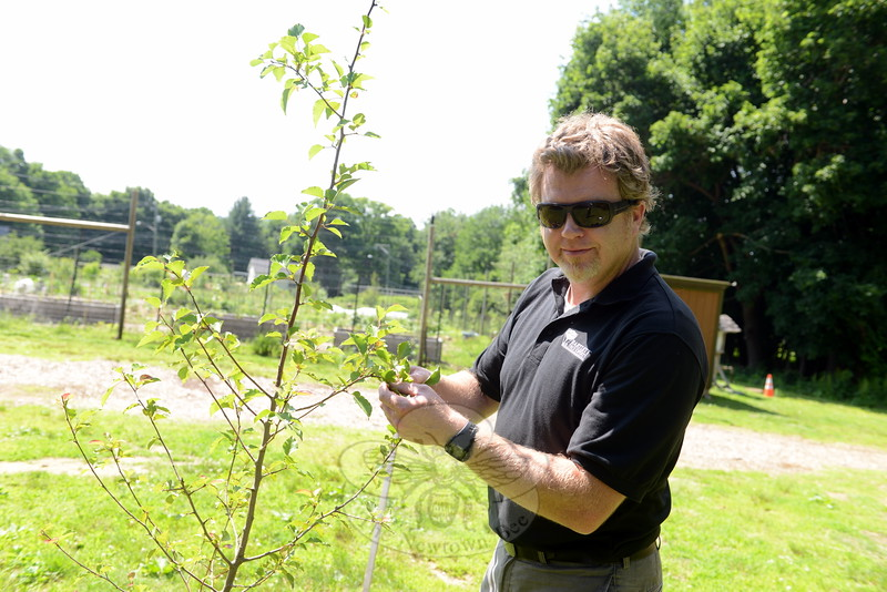 """Arborist representative David Boyle inspects one of several saplings grown from the 9/11 Survivor Tree's seeds. Planted by the Victory Garden at Fairfield Hills, the tree is among a group of ten throughout Newtown. The trees are donated to communities that have experienced """"great loss"""" as a sign of """"perseverance and strength,"""" Mr Boyle said. The Survivor Tree is a species of pear that had survived the World Trade Center attacks and Twin Towers collapse. Its seeds were cultivated and grown into new young trees. (Bobowick photo)"""
