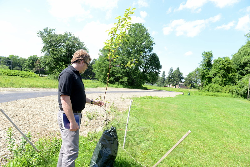 "Arborist representative David Boyle inspects one of several saplings grown from the 9/11 Survivor Tree's seeds. Planted by the Victory Garden at Fairfield Hills, the tree is among a group of ten throughout Newtown. The trees are donated to communities that have experienced ""great loss"" as a sign of ""perseverance and strength,"" Mr Boyle said. The Survivor Tree is a species of pear that had survived the World Trade Center attacks and Twin Towers collapse. Its seeds were cultivated and grown into new young trees. (Bobowick photo)"