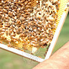The lower right cell, which looks like a peanut shell at the bottom of the comb, is the queen bee's cell. Mr Shwartz hopes she will emerge and eventually form a new colony. (Bobowick photo)