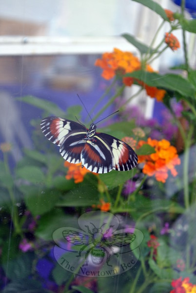 One of several tropical butterflies in the Magic Wings exhibit at the June 6 Catherine's Butterfly Party event. (Crevier photo)