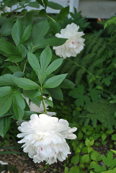 "It is the white Festiva Maxima peony that Ms Minck treasures the most in her gardens, although two pink peony and one red peony are also among the more than one dozen peony bushes in bloom, in late spring. (Crevier photo)<br /> <br /> PLEASE NOTE: Additional photos of Mrs Minck's garden are also available in a separate gallery:<br /> <a href=""http://photos.newtownbee.com/Journalism/Glimpse-of-the-Garden-Liljan/"">http://photos.newtownbee.com/Journalism/Glimpse-of-the-Garden-Liljan/</a>"