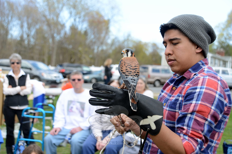 JC Renteria, with Sharon Audubon Center, held a kestrel for guests to see at 8th Annual Newtown Earth Day Festival on Saturday, May 2. The bird, Bob, had been stolen from its nest and been kept as a pet before arriving at the Sharon facility. (Bobowick photo)