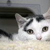 Lola is a spayed female cat who was among the many cats seized by the state Department of Agriculture at a Town's End Road property in June. Lola lives at the town animal shelter. (Gorosko photo)