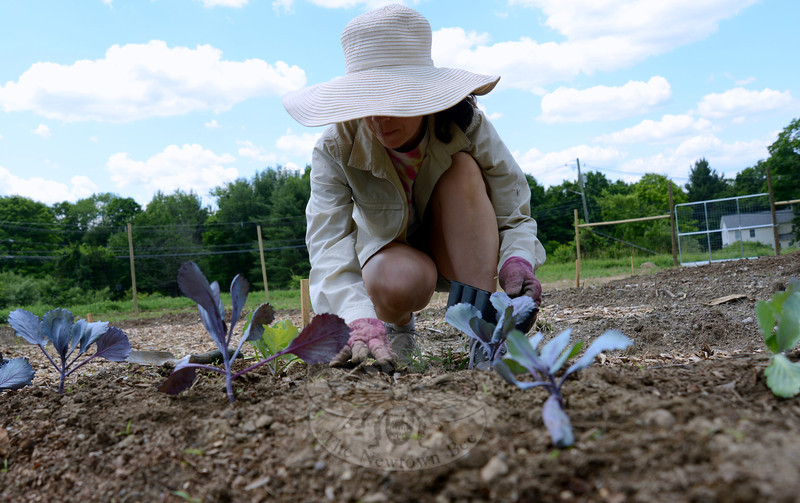 Barbara Toomey carefully plants young cabbage at The Victory Garden.   (Bobowick photo)