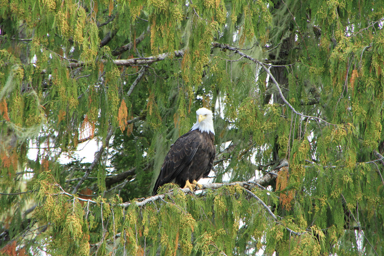 This eagle was only about 200-300 feet from our vessel.