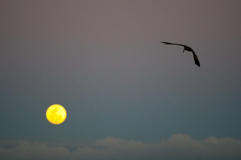 pelican_moon-3