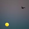 pelican_moon-4